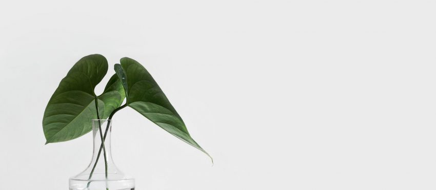42 Leaf Plant On White